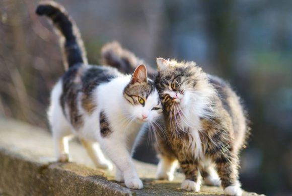 Seznámení dvou koček aneb jak zkamarádit kočky